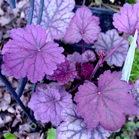 Гейхера 'Шуга Плюм' / Heuchera 'Sugar Plum'