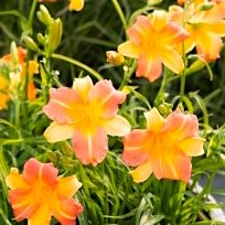 Лилейник 'Эври Дейлили Панч Еллоу' / Hemerocallis 'EveryDaylily Punch Yellow'