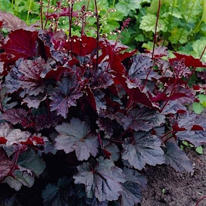 Гейхера 'Палас Перпл' / Heuchera 'Palace Purple'