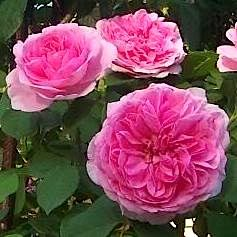 Роза гертруда джекилл купить