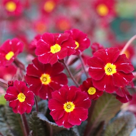 Примула   'Бларни Кастл Рэд' /          Primula  vulgaris 'Blarney Castle Red'