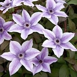 Клематис 'Бэст Уишиз' / Clematis 'Best Wishes'