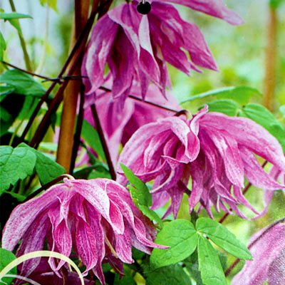 Клематис 'Перпл Дрим' / Clematis alpina 'Purple Dream'