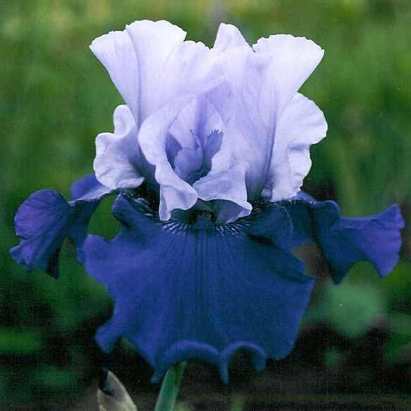 Ирис 'Бест Бет' / Iris germanica 'Best Bet'