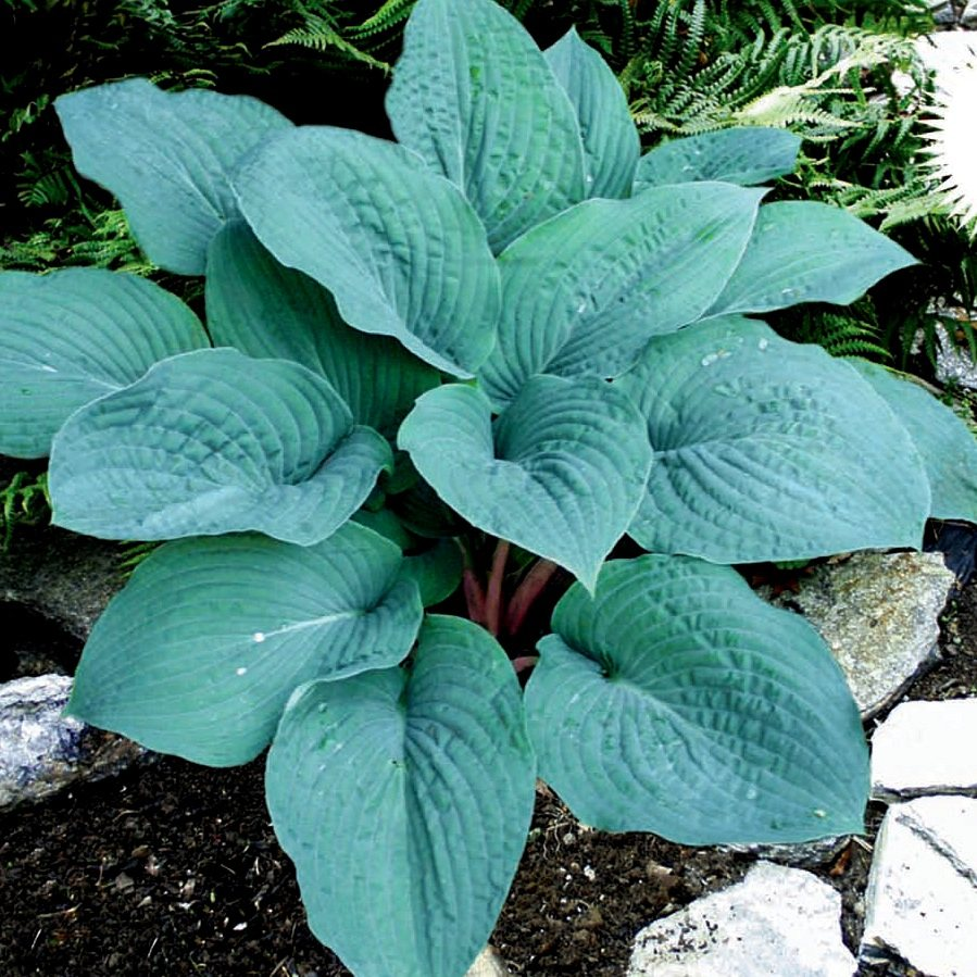 Хоста 'Блуберри Маффин' / Hosta hybride 'Blueberry Muffin'