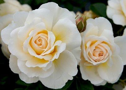 Cream abundance роза купить