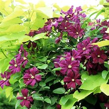 Клематис витицелла 'Ройял Велюрс' / Clematis Viticella 'Royal Velours'
