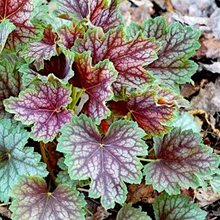 Гейхера 'Бьюти Колор' /  Heuchera 'Beauty Color'