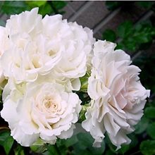 Роза Харкнесса  'Сэр Галахад' / 'Sir Galahad', 'Great North Eastern Rose', Harkness