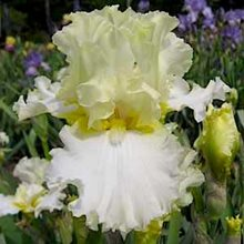Ирис бородатый 'Девоншир Крим' / Iris barbatus 'Devonshire Cream'
