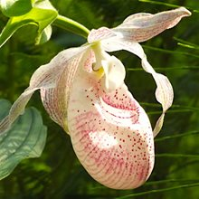 Башмачок  Ирэн /          Cypripedium Irene