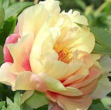 Пион Ито-гибрид 'Кэнэри Бриллиантс' /                                                Paeonia Itoh 'Canary Brilliants'