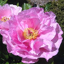 Пион 'Мэй Лилак' / Paeonia hybryda 'May Lilac'