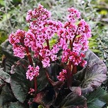 Бадан 'Мэджик Гигант' / Bergenia 'Magic Giant'