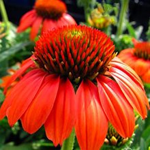 Эхинацея 'Фламенко Оранж'/ Echinacea Sombrero 'Flamenco Orange'