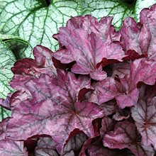 Гейхера 'Плам Ройял' / Heuchera 'Plum Royale'