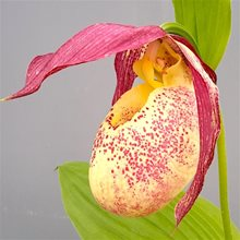 Башмачок гибридный  / Cypripedium kentuckiense x rebunense