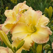 Лилейник 'Бьютифул Эндингс' / Hemerocallis 'Beautiful Edgings'