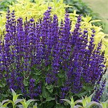 Шалфей 'Блу Букет'/ Salvia 'Blue Bouquetta'