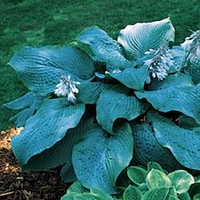 Хоста 'Блу Маммос' /  Hosta 'Blue Mammoth'
