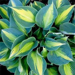Хоста 'Тач оф Класс' / Hosta hybride 'Touch of Class'