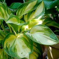 Хоста  'Рэйр Брид' /                                          Hosta  hybride  'Rare Breed'