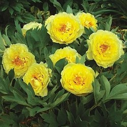 Пион Ито-гибрид 'Еллоу Краун'  / Paeonia Itoh 'Yellow Crown'