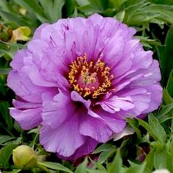 Пион Ито-гибрид 'Монинг Лилак' /  Paeonia Itoh 'Morning Lilac'