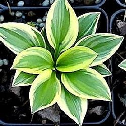 Хоста 'Вудлэнд Эльф' / Hosta 'Woodland Elf'